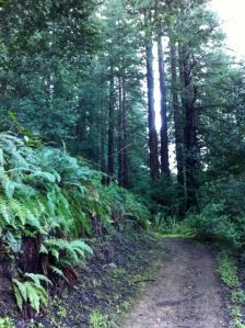 Redwood-Forest1