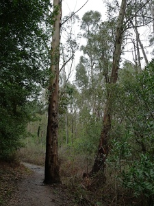 Eastport-Eucalyptus