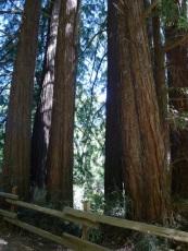 Redwood-Fairy-Ring