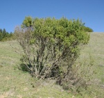 Coyote-Brush